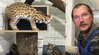 Новый леопардовый кот! Знакомим с девочками.
