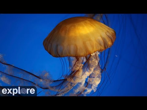West Coast Sea Nettles powered by EXPLORE.org
