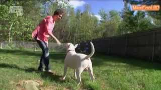 Порода собак - Бультерьер