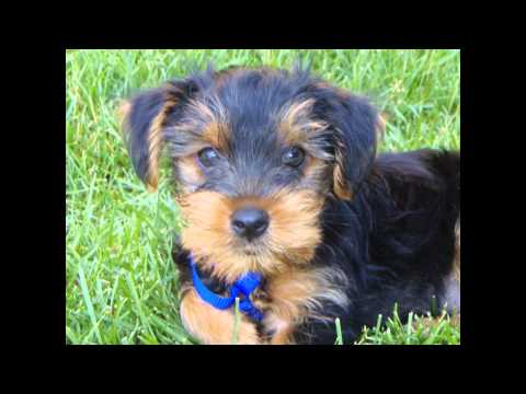 Йоркширский Терьер/Yorkshire Terrier (порода собак HD slide show)!
