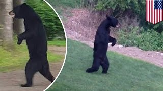 Pedals the bear shot dead: Bear famous for walking on two legs killed during hunt - TomoNews