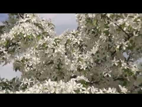 Как цветущий яблоневый сад