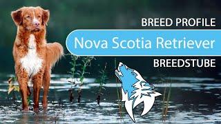 Nova Scotia Duck Tolling Retriever Breed, Temperament & Training