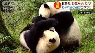 世界初!野生双子パンダ じゃれあう姿がカメラに(19/12/17)