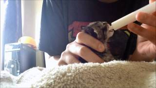 Feeding Foster Newborn Kitten