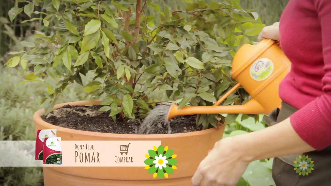 Como cultivar frut feras em vaso dona flor youtube for Como cultivar bonsais