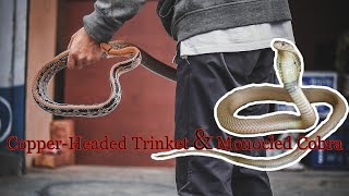 Trinket and Monocled Cobra Rescue | Belghari/Lakeside | Pokhara | Rohit Giri |
