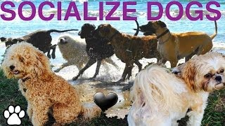 Socialize Your Dog- Diy Dog Training To Play Nice With Other Dogs - A Tutorial By Cooking For Dogs