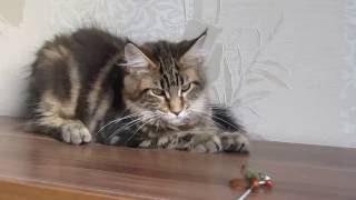 Котята мейн кун ROKOT