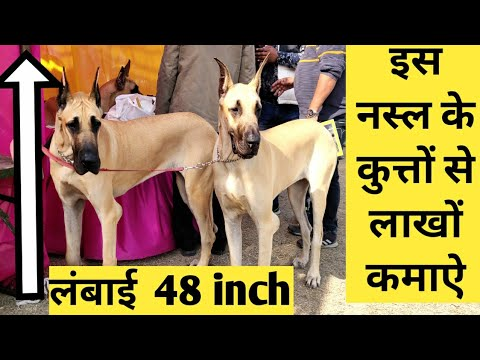 Ludhiana Dog Show, Top breed dog
