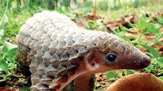 Панголины - удивительные и редкие животные тропиков