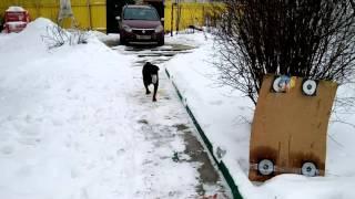 Ротвейлер сходил в магазин. Smart Rottweiler shopping in store(, 2016-02-13T16:58:25.000Z)