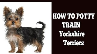 How To Quickly Potty Train Yorkshire terriers