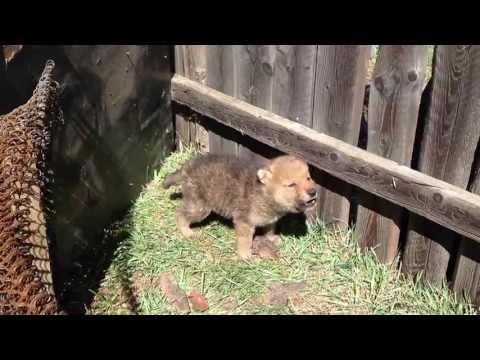 Wolf cub howling