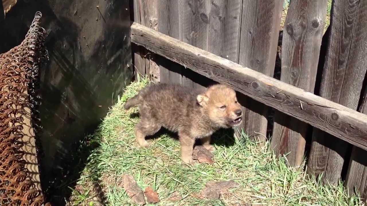 Wolf Cub Howling Youtube
