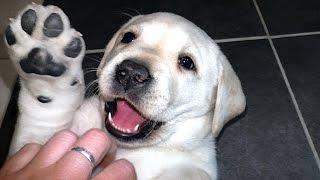 Белый мишка Лабрадор! Щенок лабрадора 1,5 мес. White bear Labrador! Puppy Labrador 1,5 months.