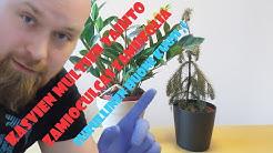 Kevättä rinnassa: Zamioculcas zamiifolian ja hyvin surullisenhuonekuusen mullan vaihto. Osa 1 #Kevät