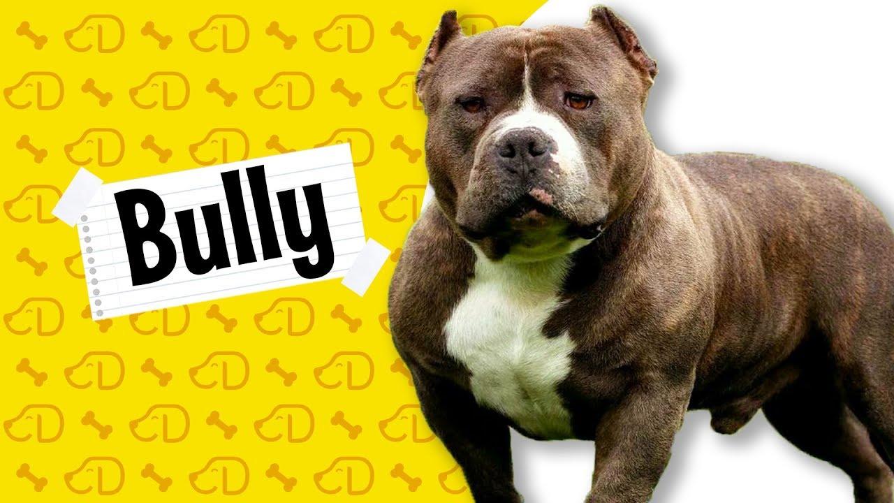 Fatos Sobre O American Bully Dogueiros Bully Americanbully