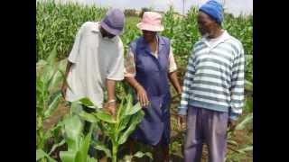 WEMA water efficient maize for Africa