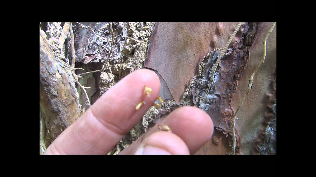 Termites In Trees Treat Termites In Live Yard Orchard Trees In Stumps
