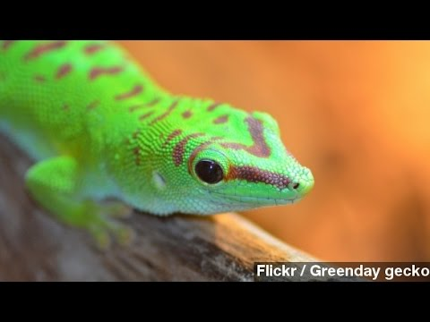 Russian Zero-Gravity Experiment Killed The Sex Geckos