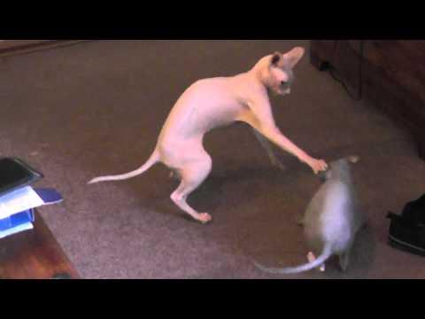 sphinx cat fight (playful) 1