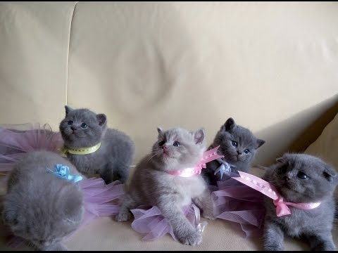 Our funny Kittens of Scottish Fold and Bristish Shorthair
