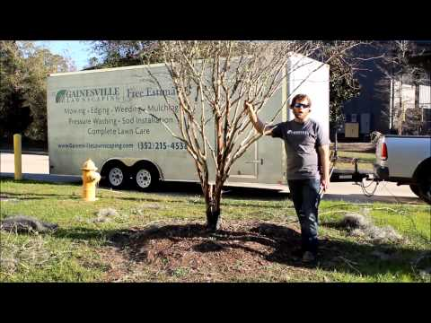 Gainesville Lawnscaping - How to Trim a Crape Myrtle - Landscaping and Lawn Care Service.