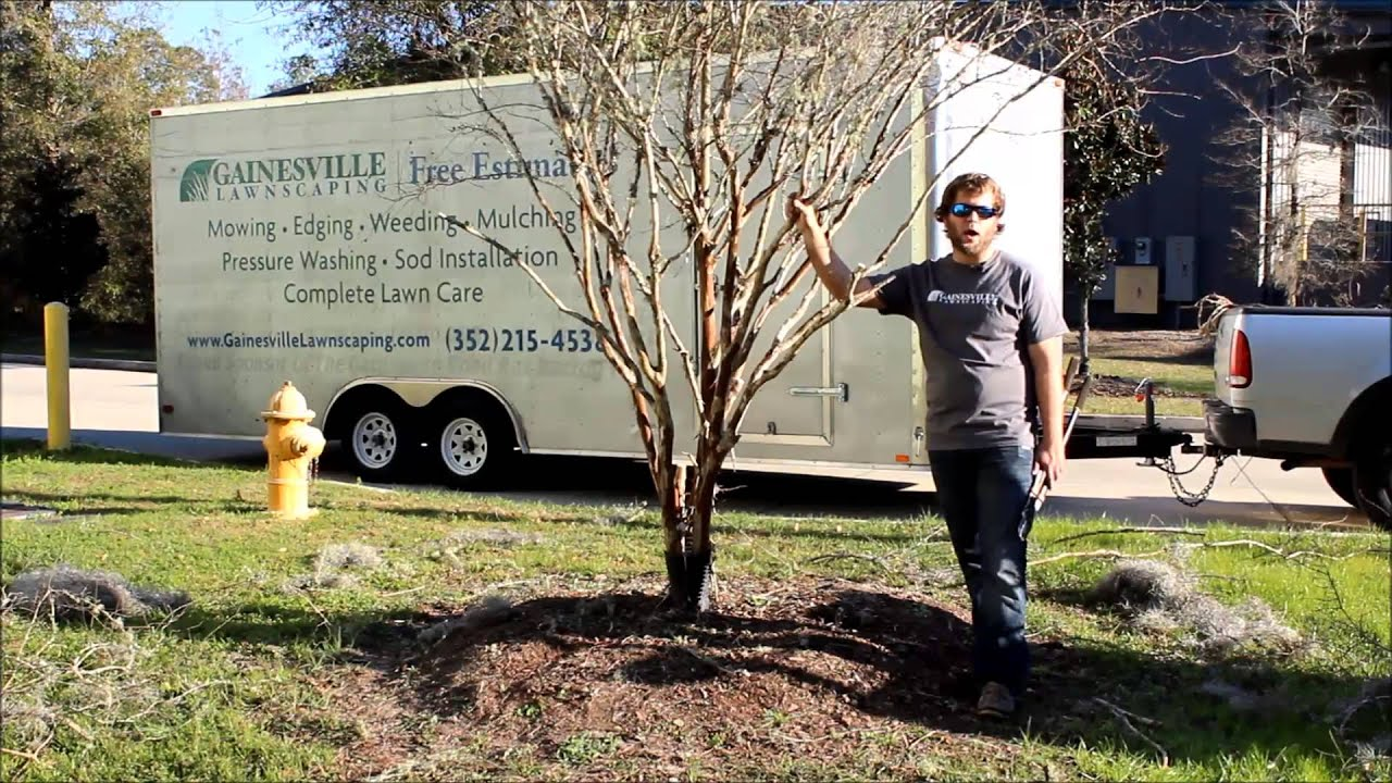 Gainesville Lawnscaping How To Trim A Crape Myrtle