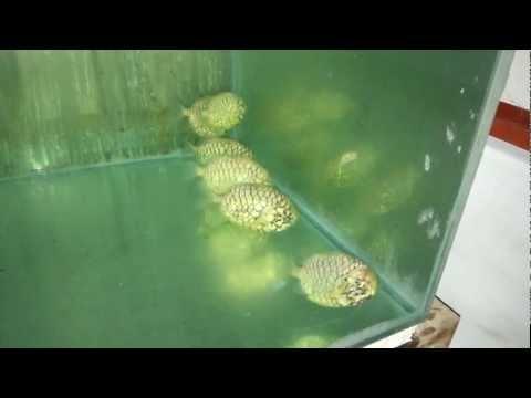 Japanese Pinecone Fish (Monocentris Japonica)