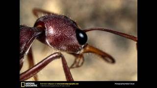 Bulldog Ant - The Stinging Fury