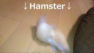 お笑い芸人みたいな驚き方をするハムスター!おもしろ可愛いハムスターA hamster that makes a surprise like Comedian