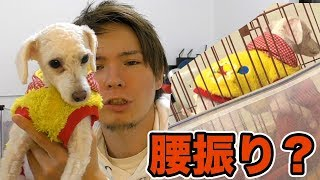 メスの愛犬が腰振りしてるんだが...(´・ω・`)【仰天】 PDS
