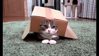 箱を着たまま遊ぶねこ。-Maru plays with the box on.-