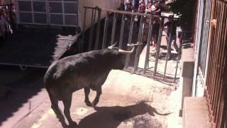 Lacher de taureau Espagnol Cabestria [Pignan 2014]