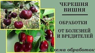 Весенняя обработка вишни и черешни. Схема обработки вишни и черешни от болезней и вредителей.