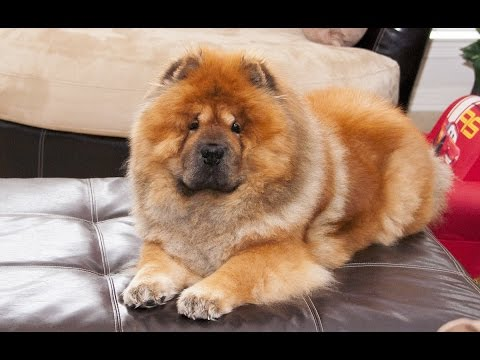 We're family! Part 1 (adorable chow chow video)