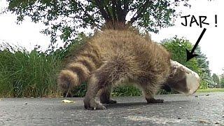 Raccoon with Jar Stuck on Head  'A Jarring Rescue'  by Suburban Wildlife Control :) #trashtag