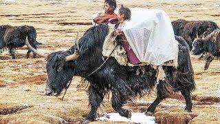 El reino animal de Tibet - Imponente