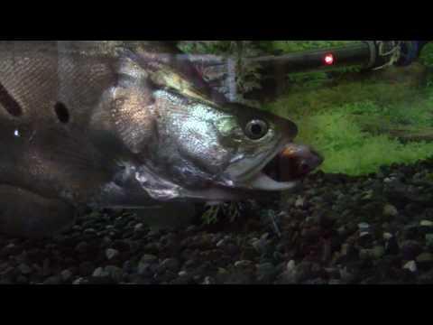 Clown Knife Fish Feeding  !!!