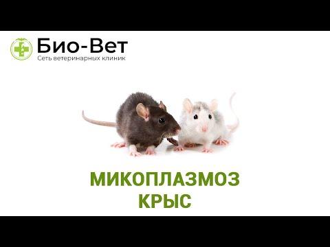 Микоплазмоз крыс. Ветеринарная клиника Био-Вет.