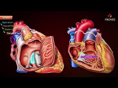 Gross anatomy of Right atrium (RA)