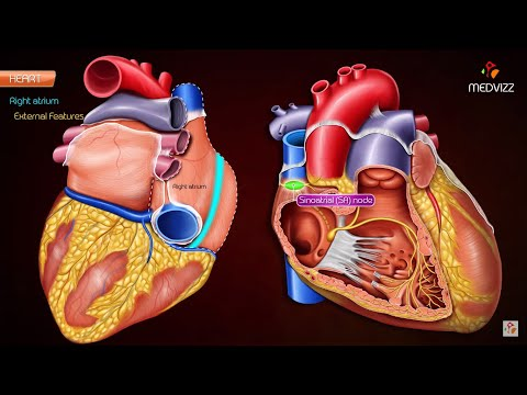 Gross anatomy of Right atrium (RA) - Medvizz Anatomy animated medical videos