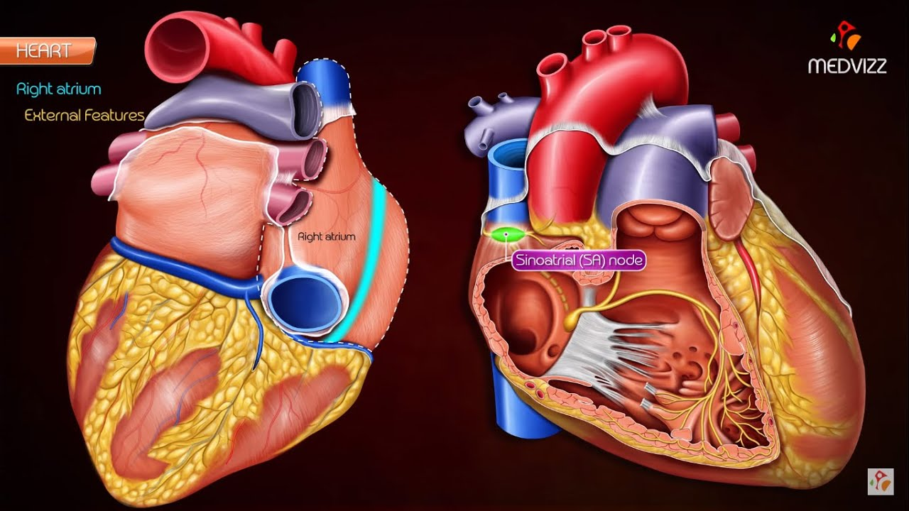 Gross Anatomy Of Right Atrium Ra Medvizz Medical Animations