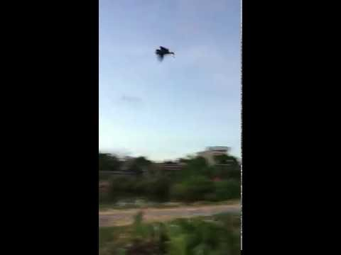 huấn luyện đại bàng. eastern imperial eagle.