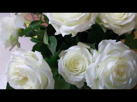 КАК ПЕРЕСАДИТЬ РОЗУ? Розы в саду. How To Plant A Rose?