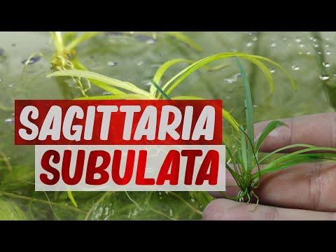 SAGITTARIA SUBULATA, ORIGINE | BOUTURAGE | MAINTENANCE
