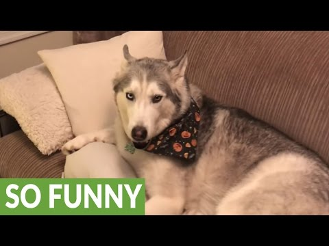Vocal Husky denies
