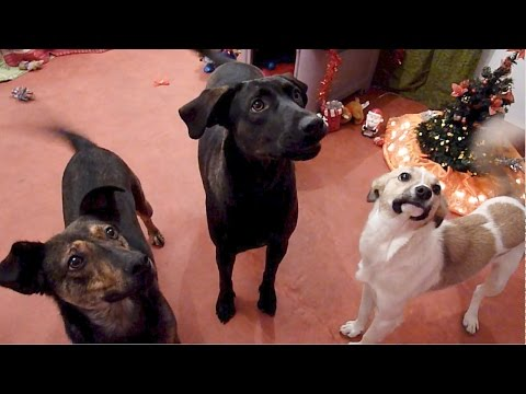 Homeless Dogs Rescued by Howl Of A Dog Having Their First Surprise Christmas Party