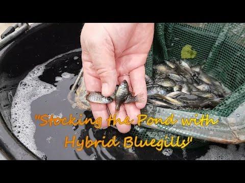 Stocking The Pond With Hybrid Bluegills